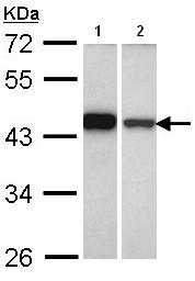 Western blot - GIPC1 antibody (ab96528)