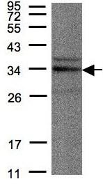 Western blot - NEK7 antibody (ab96538)