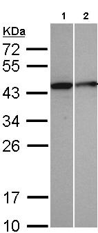 Western blot - Selenophosphate synthetase 1 antibody (ab96542)