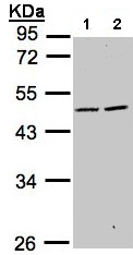 Western blot - SIGLEC9 antibody (ab96545)