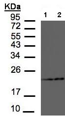 Western blot - RAMP2 antibody (ab96546)