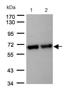 Western blot - STIP1 antibody (ab96550)