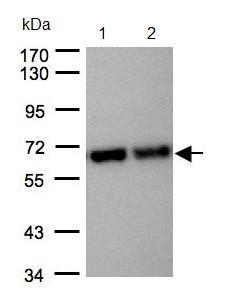 Western blot - STIP1 antibody (ab96550)