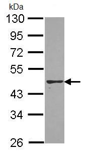 Western blot - PON2 antibody (ab96553)