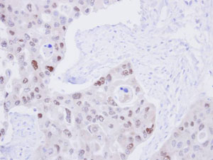 Immunohistochemistry (Formalin/PFA-fixed paraffin-embedded sections) - DNA Ligase III antibody (ab96576)