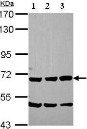 Western blot - Chromogranin C antibody (ab96589)