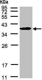 Western blot - SPFH2 antibody (ab96591)