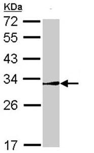 Western blot - NR0B2 antibody (ab96605)