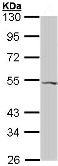 Western blot - VPAC2 antibody (ab96608)