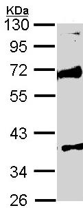 Western blot - MST4 antibody (ab96611)