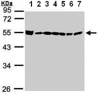 Western blot - DDX39 antibody (ab96621)
