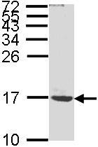Western blot - Anti-ATP5G1 antibody (ab96655)