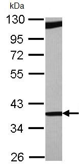 Western blot - RBM4 antibody (ab96658)