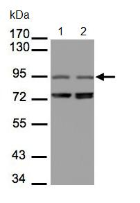 Western blot - NIR1 antibody (ab96661)