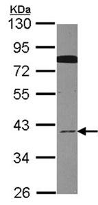 Western blot - CDC37L1 antibody (ab96667)