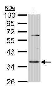 Western blot - CD55 antibody (ab96680)