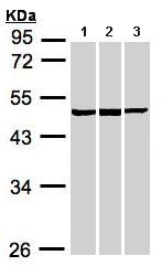 Western blot - BZW2 antibody (ab96682)