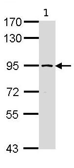 Western blot - SSRP1 antibody (ab96704)