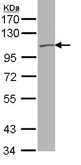 Western blot - KCNQ5 antibody (ab96707)