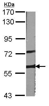 Western blot - A RAF antibody (ab96712)