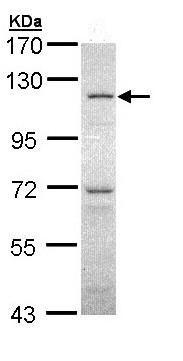 Western blot - O-Linked N-Acetylglucosamine Transferase antibody (ab96718)