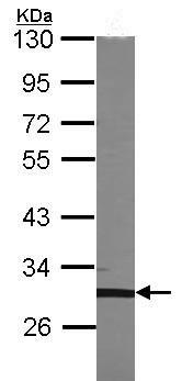 Western blot - TFEC antibody (ab96719)