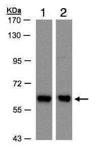 Western blot - Coatomer subunit delta antibody (ab96725)