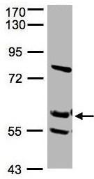 Western blot - RED antibody (ab96735)