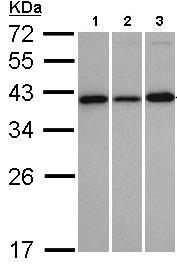 Western blot - VTA1 antibody (ab96738)