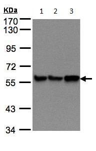 Western blot - P4HB antibody (ab96744)