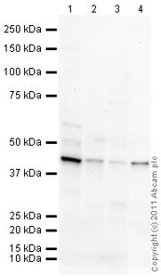 Western blot - HYAL1 antibody (ab96751)