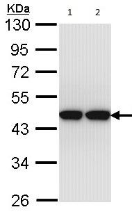 Western blot - ACTL8 antibody (ab96756)