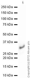 Western blot - Anti-RALA antibody (ab96759)