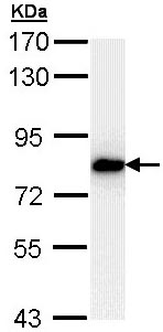 Western blot - SNRK antibody (ab96762)