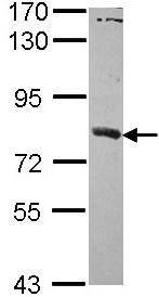 Western blot - SAMHD1 antibody (ab96768)