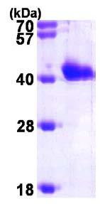 SDS-PAGE - GIPC1 protein (ab96769)