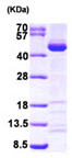 SDS-PAGE - SAE1  protein (Tagged-His Tag) (ab96772)