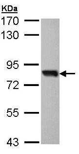 Western blot - SOX13 antibody (ab96776)