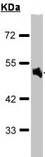Western blot - Anti-alpha 1a Adrenergic Receptor antibody (ab96783)