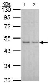 Western blot - HRH3 antibody (ab96787)