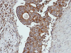 Immunohistochemistry (Formalin/PFA-fixed paraffin-embedded sections) - Cathepsin S antibody (ab96788)