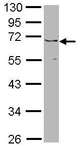 Western blot - JMJD6 antibody (ab96795)