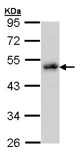 Western blot - LDB1 antibody (ab96799)