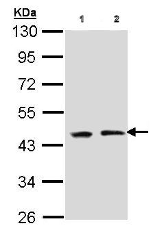 Western blot - EED antibody (ab96801)