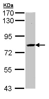 Western blot - SAH3 antibody (ab96802)