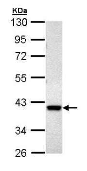 Western blot - DUSP6 antibody (ab96807)