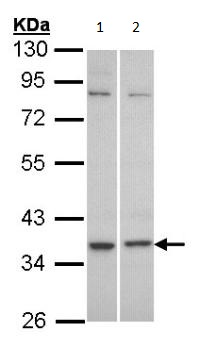Western blot - GPCR C5L2 antibody (ab96808)