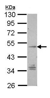 Western blot - GPCR TM7SF1 antibody (ab96809)