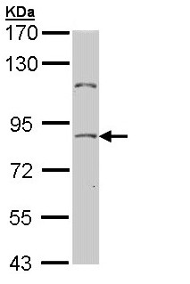 Western blot - Transcription factor 25 antibody (ab96813)