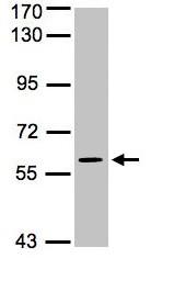 Western blot - MAPK4 antibody (ab96816)